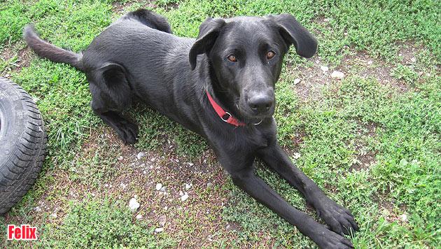 Vermisste Vierbeiner und Hunde zur Vergabe (Bild: Tierheim Dechanthof)