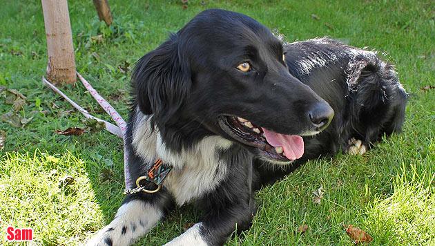 Vermisste Vierbeiner und Hunde zur Vergabe (Bild: Landestierschutzverein Steiermark)