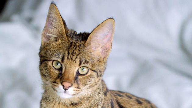 Die umstrittene Kreuzung von Haus- und Wildkatzen (Bild: Jason Douglas)