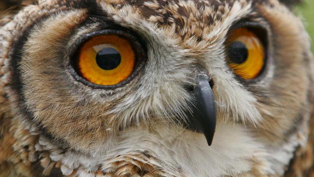 Jäger sollen geschützte Eulen gewildert haben (Bild: thinkstockphotos.de)
