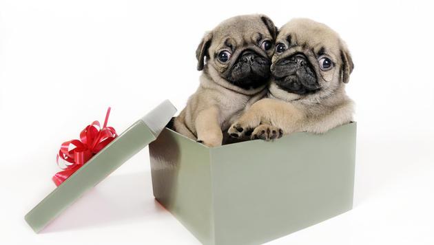 US-Tierheim liefert Welpen zum Kuscheln ins Büro (Bild: thinkstockphotos.de)