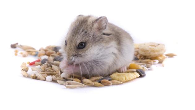 Darauf musst du beim Kauf eines Hamsters achten (Bild: Photos.com/Getty Images)