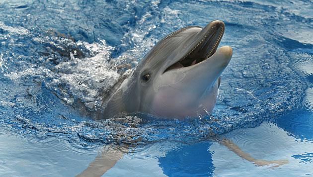Schwimmen mit Delfinen ist ein Gesundheitsrisiko (Bild: dapd)