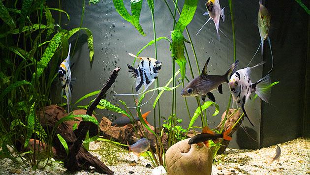 Verfolgungsjagd und Versteckspiel im Aquarium (Bild: thinkstockphotos.de)