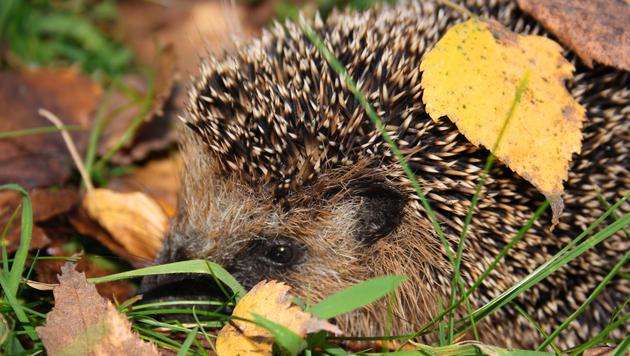 Igel erwachen zu früh aus dem Winterschlaf (Bild: thinkstockphotos.de)