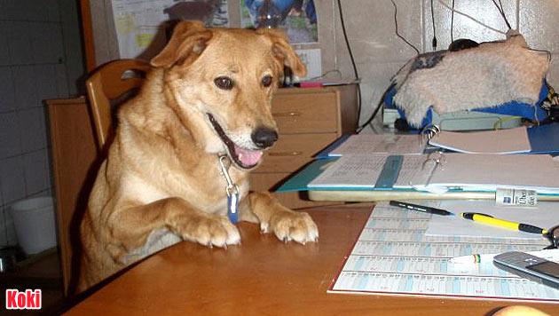Vermisste Vierbeiner und Hunde zur Vergabe (Bild: Tierschutz Burgenland)