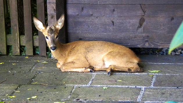 Reh von seinen Leiden erlöst: Jäger nun unter Beschuss (Bild: Österreichischer Tierschutzverein (Symbolbild))