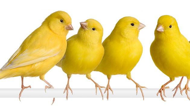 Wenn Kanarienvögel nicht mehr singen wollen (Bild: thinkstockphotos.de)