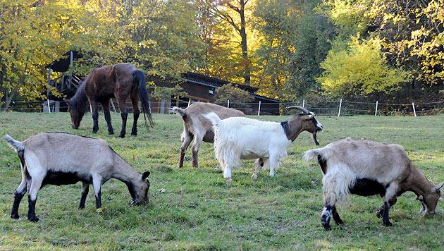 Kompromiss bei Abbruchbescheid am Gnadenhof (Bild: Animal Spirit)