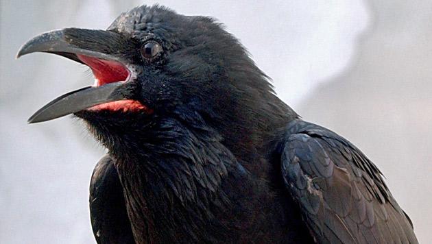 Vögel besitzen mehr Nervenzellen als Säugetiere (Bild: APA/dpa-Zentralbild/Patrick Pleul)