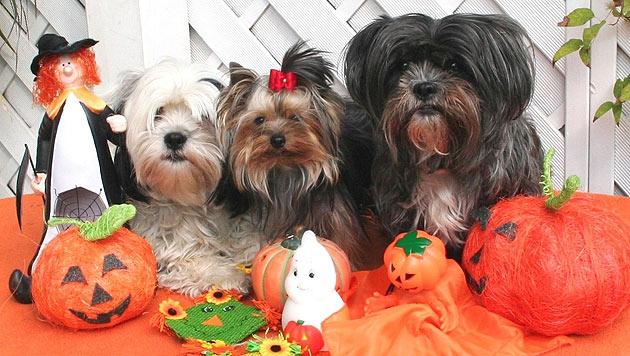 Tierisches Halloween mit deinen Vierbeinern (Bild: krone.at-Leserreporter)