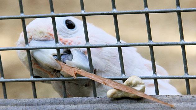 Kakadu holt sich mit selbst gebasteltem Werkzeug Futter (Bild: Universit�t Wien/Department f�r Kognitionsbiologie)