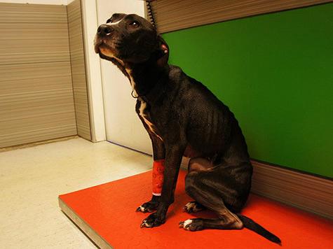 Hündin 14 Tage ohne Futter in Wohnung gesperrt (Bild: Tierschutzkompetenzzentrum Kärnten)