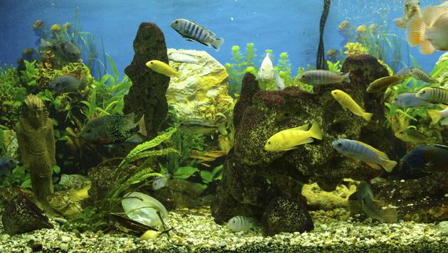 Diese Fische halten ihr Aquarium selbst sauber (Bild: thinkstockphotos.de)