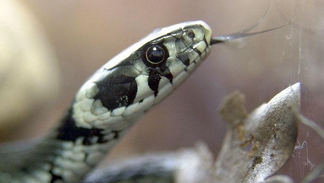 Wieder Sack mit toter Schlange in Sbg gefunden (Bild: dpa/Roland Scheidemann)
