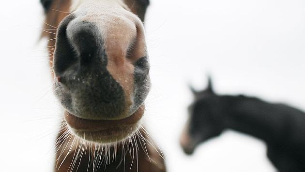 42-Jährige in Tirol von Pferden totgetreten (Bild: dpa/Julian Stratenschulte (Symbolbild))
