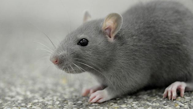 Soziale Nager: Ratten sind besser als ihr Ruf (Bild: dapd (Symbolbild))