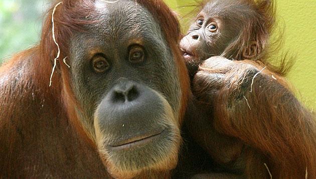 Orang-Utan nach 20 Jahren in Zoo freigekauft (Bild: dapd (Symbolbild))