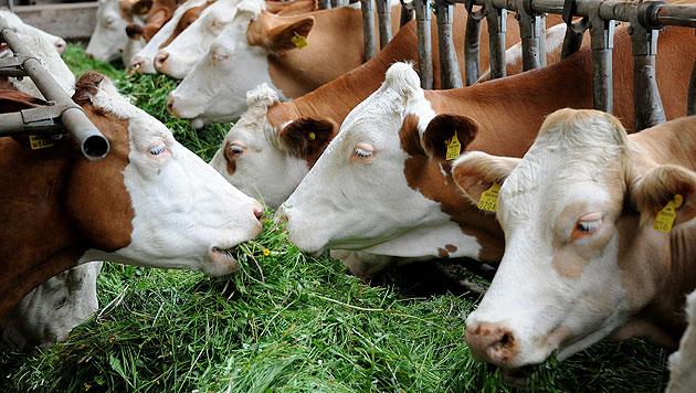 D: Furzende Kühe jagen beinahe Stall in die Luft (Bild: APA/BARBARA GINDL)