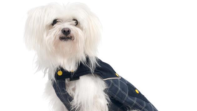 Hundemäntel - Modeerscheinung oder Kälteschutz? (Bild: thinkstockphotos.de)