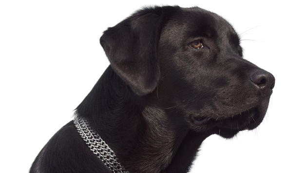 "Labrador als helfender Held nach Hurrikan ""Sandy"" (Bild: thinkstockphotos.de (Symbolbild))"