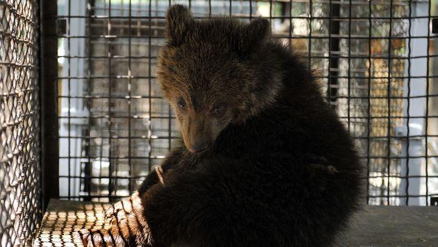 """Bärenbaby """"Nastia"""" zog in tiergerechtes Heim (Bild: """"Vier Pfoten"""")"""