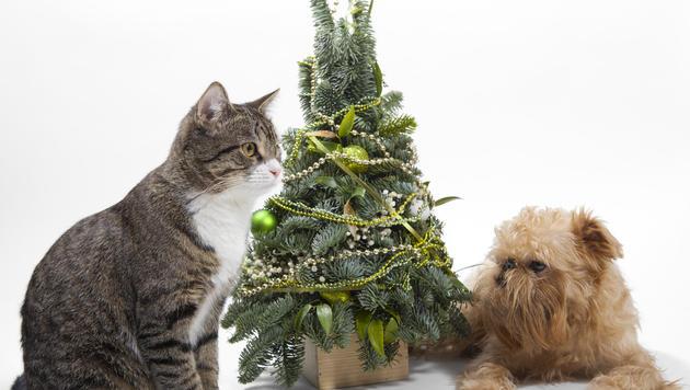 So schützt du dein Tier vor Gefahren der Adventzeit (Bild: thinkstockphotos.de)