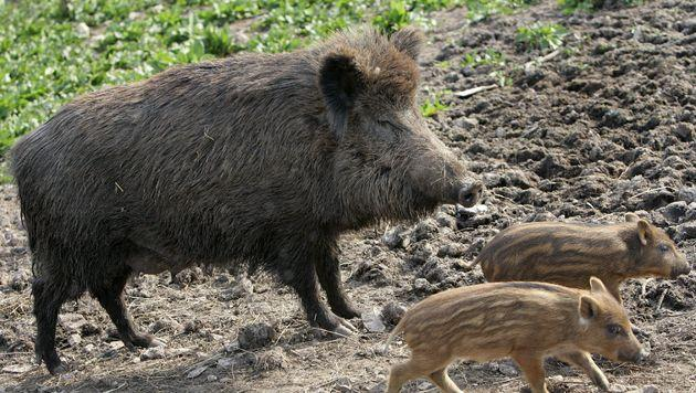 Tschechien: Viele Wildschweine radioaktiv belastet (Bild: APA/dpa/Frank May)