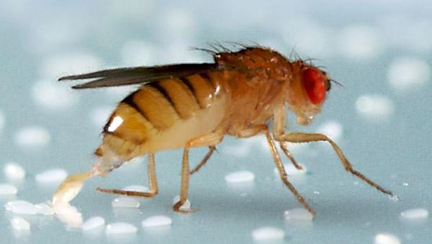 Fruchtfliege schützt Nachwuchs mit Alkohol vor Wespe (Bild: IMP-IMBA Graphics Department)