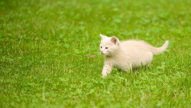 Geburtenkontrolle für Streunerkatzen im Burgenland (Bild: thinkstockphotos.de)