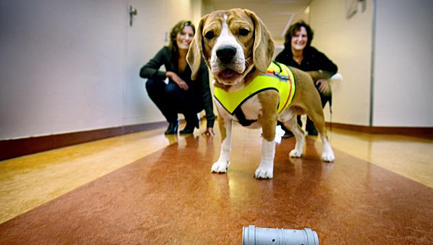 "Beagle ""Cliff"" erschnüffelt Keime in Krankenhaus (Bild: VUMC)"