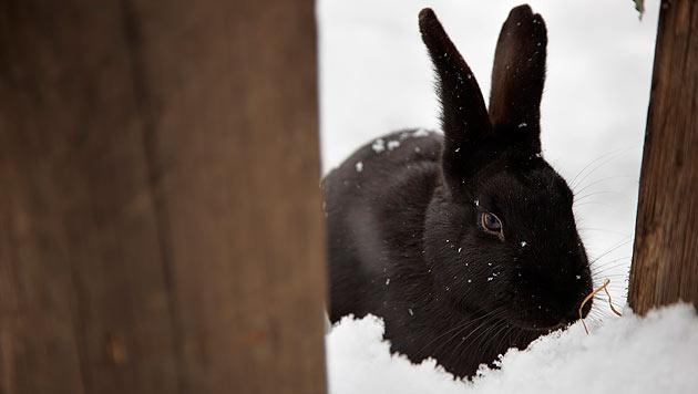 Kaninchen und Meerschweinchen im Winter (Bild: thinkstockphotos.de)