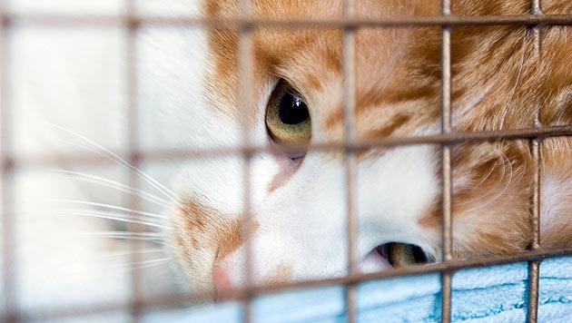 """Tierheim mit Katzen regelrecht """"überflutet"""" (Bild: thinkstockphotos.de (Symbolbild))"""