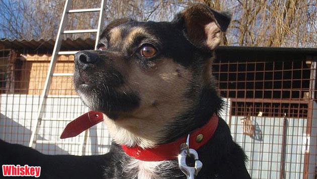 Vergabehunde und vermisste Vierbeiner (Bild: Tierschutz Burgenland)