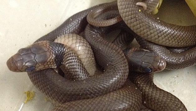 Australien: Bub (3) 'brütet' hochgiftige Schlangen aus (Bild: EPA)