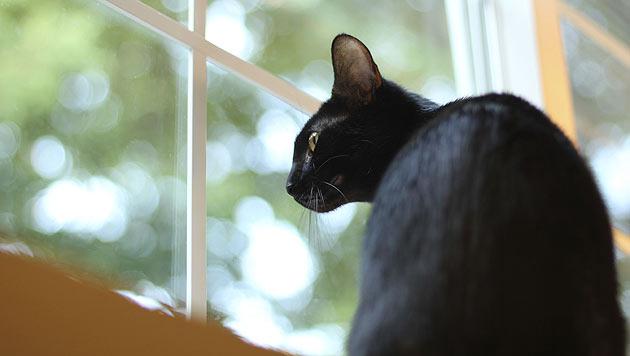 Katzen am Fenster: Frischluft mit Sicherheit (Bild: thinkstockphotos.de)
