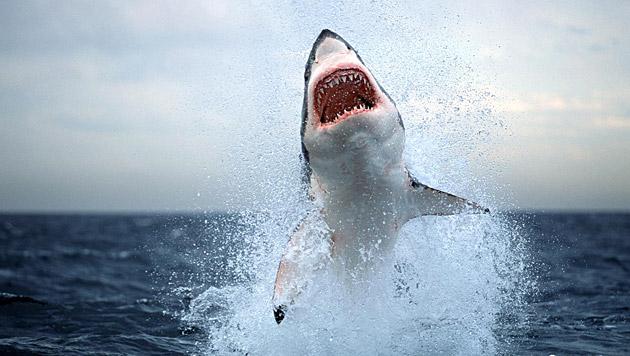 Der Weiße Hai: Meister der Jagd (Bild: dapd)
