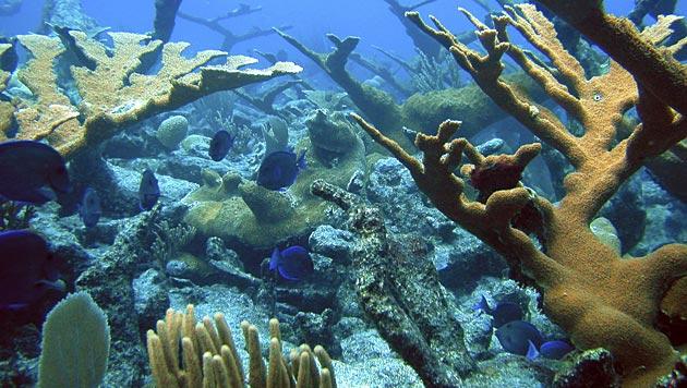 China verlor bereits 80 Prozent seiner Korallenriffe (Bild: dapd)