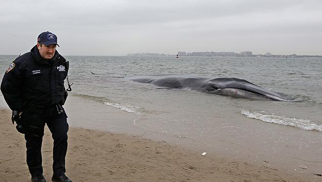 Vor New York gestrandeter Finnwal verendet (Bild: AP)
