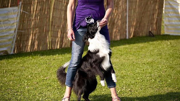 Vorsicht beim Hundesport an heißen Sommertagen (Bild: thinkstockphotos.de)