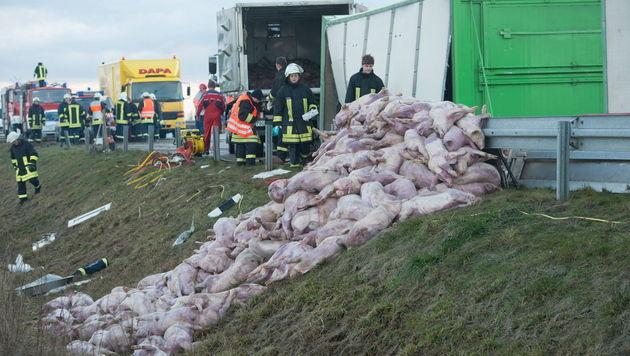 D: Rund 100 Ferkel bei Unfall auf Autobahn get�tet (Bild: EPA)