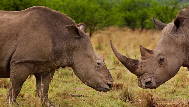 Afrika: Noch nie so viele Tiere gewildert wie 2012 (Bild: EPA)
