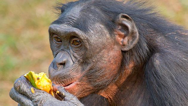 US-Studie: Bonobos teilen ihr Futter eher mit Fremden (Bild: thinkstockphotos.de)