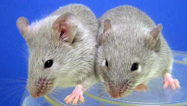 Forscher erzeugen M�use-Embryonen ohne Geschlecht (Bild: Kyoto University)