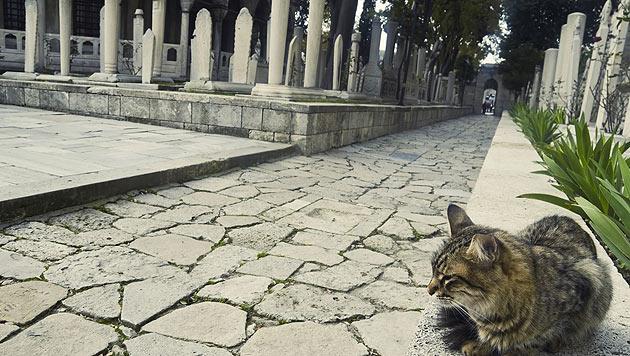 Kater besucht täglich das Grab seines Herrchens (Bild: thinkstockphotos.de (Symbolbild))