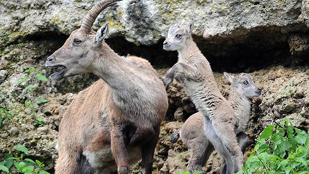 Tierparadies als Asyl für Steinböcke aus OÖ (Bild: APA/BARBARA GINDL)