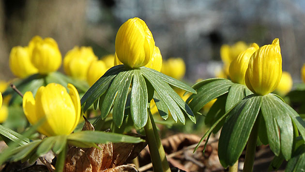 Pflanzen blühten in den USA 2012 bis zu einen Monat früher (Bild: dapd)