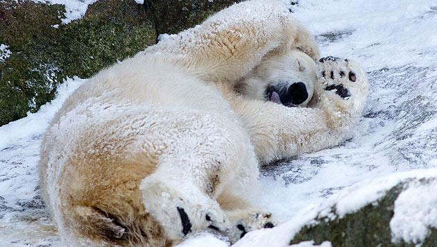 """Protestiere gegen den """"Ausverkauf"""" der Eisbären! (Bild: dapd/Maja Hitij)"""