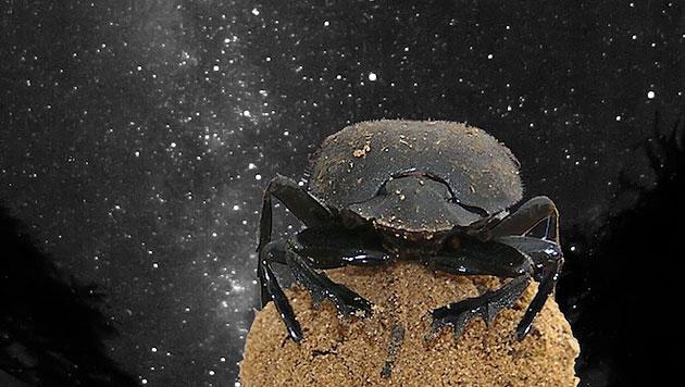 Mistkäfer nutzen auch Milchstraße zur Orientierung (Bild: Maria Dacke,  Emily Baird et al./Current Biology)