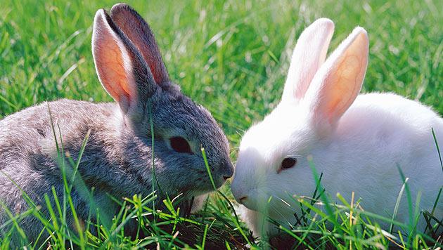 So gewöhnen Sie Kaninchen an einen neuen Partner (Bild: thinkstockphotos.de)